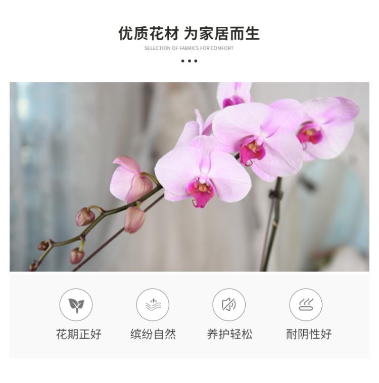 蝴蝶兰-8.png
