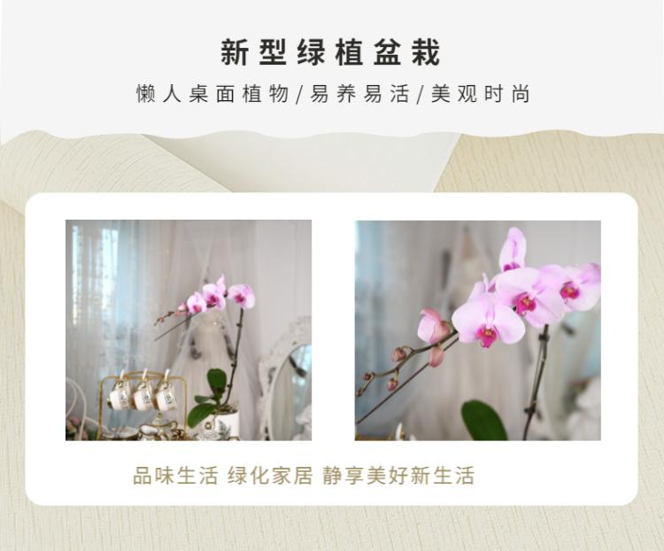 蝴蝶兰-7.png